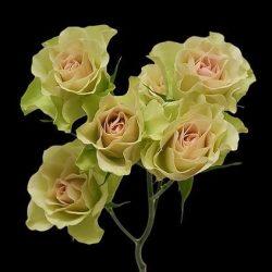 green spray roses