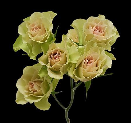 green spray roses