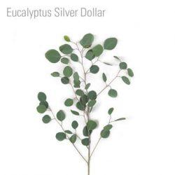 eucalyptus-silver-dollar-leaf