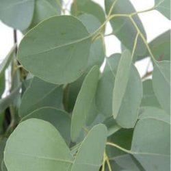 Silver-dollar-eucalyptus