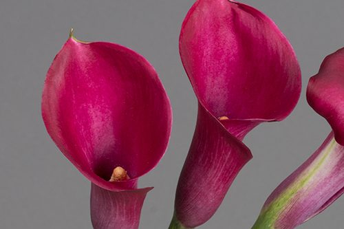 hot-pink-calla-lily-flowers