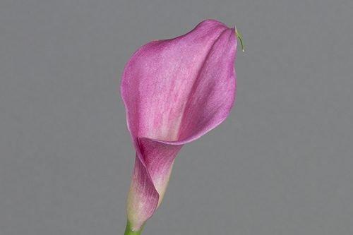 lavender-calla-lily-flower