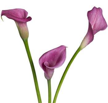 lavender-calla-lily