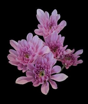 lavender cushion flowers