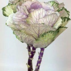 lavender kale flowers ornamental cabbage