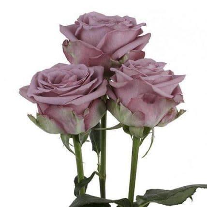 lavender roses wholsale flowers