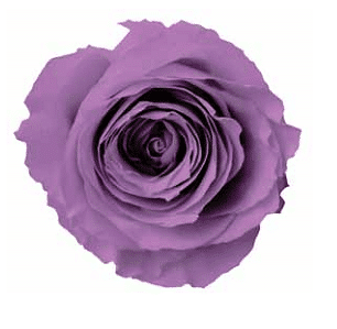 lavender preserved rose