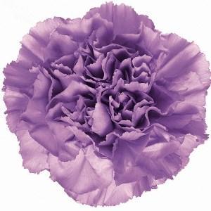 lavender carnation