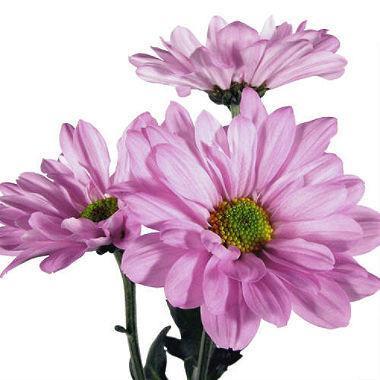lavendr daisy flower