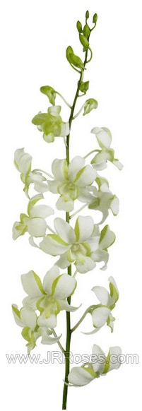 White and Green Dendrobium orchid
