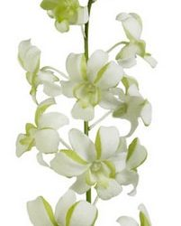 green and white dendrobium orchid