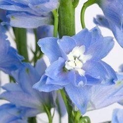 light-blue-delphinium-flowers