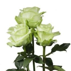 light green roses