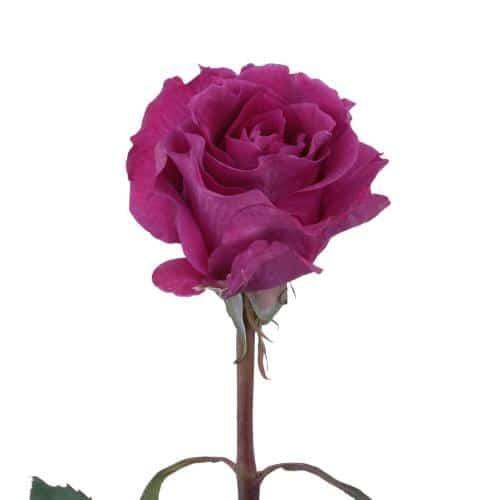 mamy-blue-garden-rose-top-view