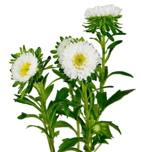matsumoto-white