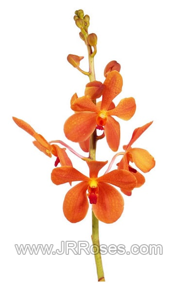 orange-mokara-orchids