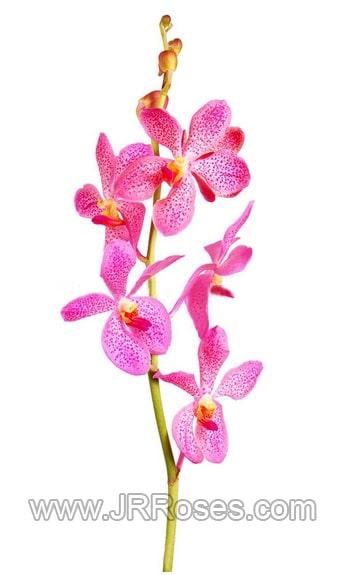 Mokara Pink Orchid
