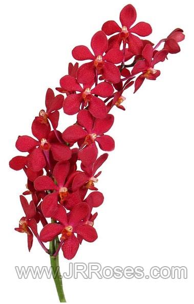 mokara-red-ruby