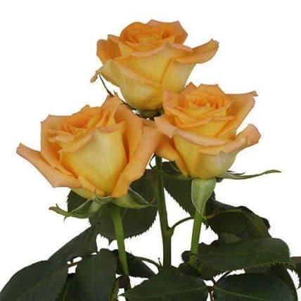 orange roses wholesale flowers