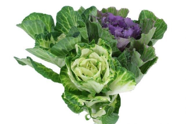 ornamental cabbage kale flowers