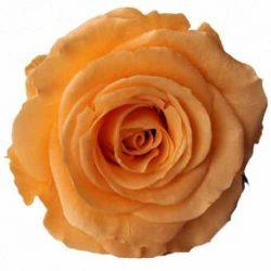 peach preserved roses