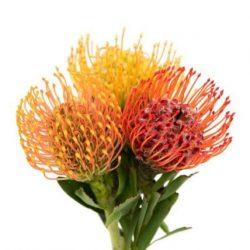 pincushion-flower