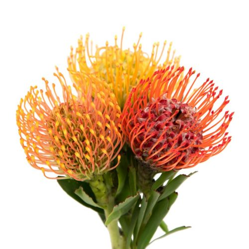 pincushion-flower