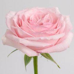 pink-OHara-rose