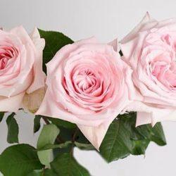 pink-OHara-roses