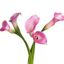 pink-calla-lily