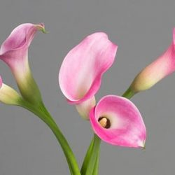 pink-calla-lily-flower