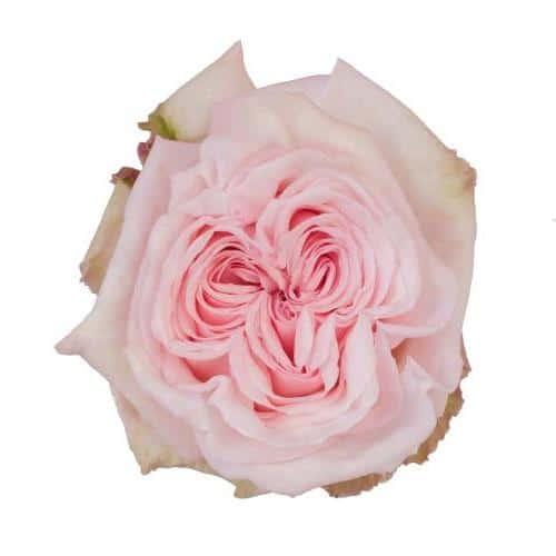 pink-ohara-garden-rose-top-view