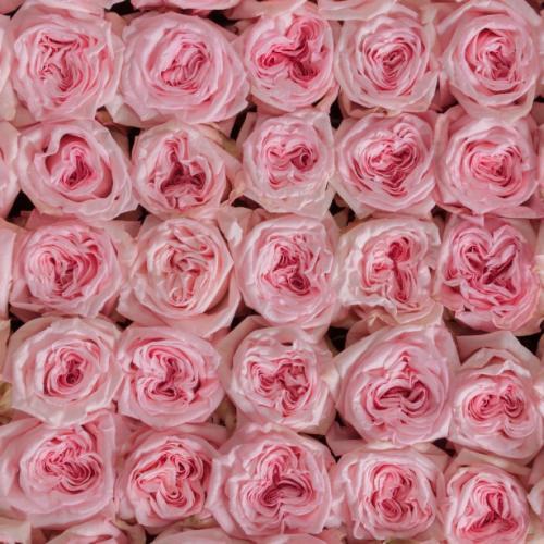 pink-ohara-garden-roses-top-view