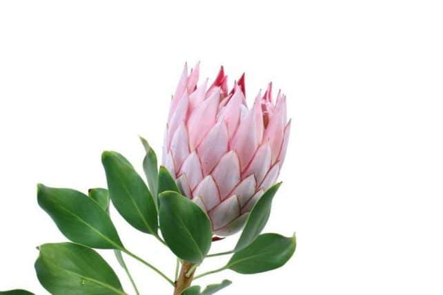 Pink protea flower 15 stems j r roses wholesale flowers protea pink tropical flowers mightylinksfo Images