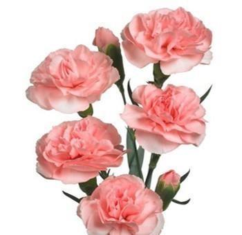 pink-spray-carnation