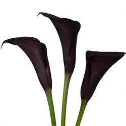 purple-calla-lily
