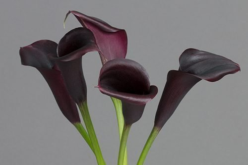 purple-calla-lily-flower