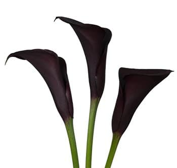 purple-calla-lily
