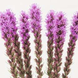 purple-liatris-flower
