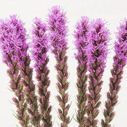 purple-liatris-flower