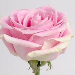 rosita-vendela-rose