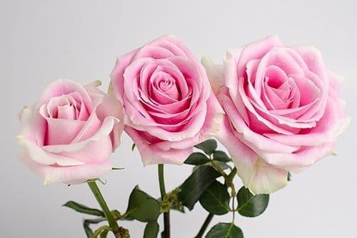 rosita-vendela-roses