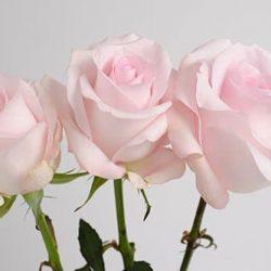 sweet-akito-roses