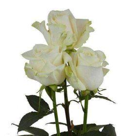 vendela spo 280x280 - White Gerbera Daisy  (80 stems)