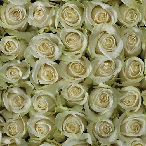 vendela rose