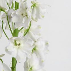 white-delphinium-flower