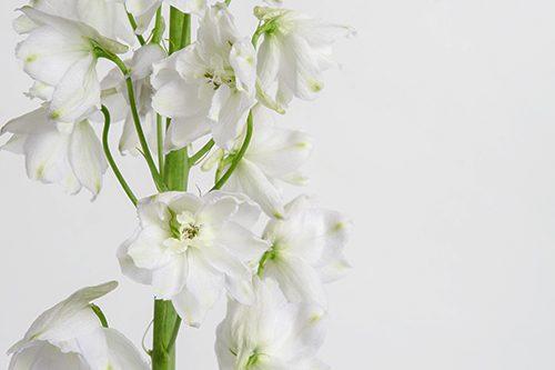 white-delphinium-flower