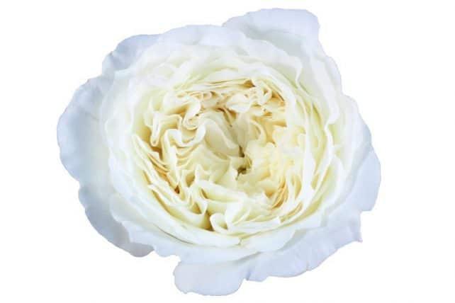 White Garden Roses ...