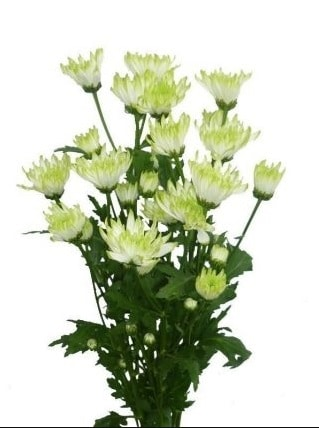 white pom pom flower