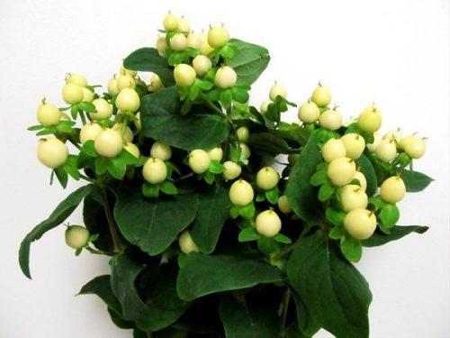 white hypericum berries